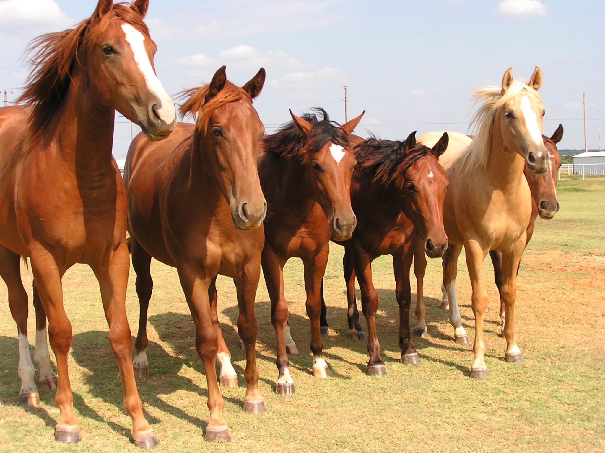 Herde  Kumpel oder Gegner - Integration neuer Pferde in eine bestehende ...
